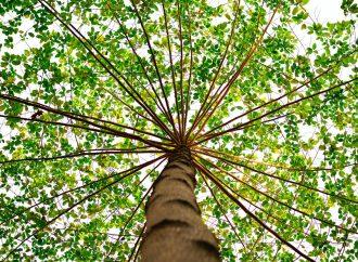 Croissance et amélioration d'un arbre: comment s'y prendre?