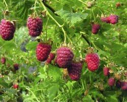 Jardindivert mon petit blog jardin - Laurier comestible comment reconnaitre ...