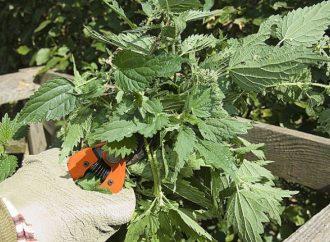 Que dois je faire des orties dans mon jardin ?