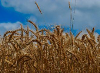 L'utilisation d'un engrais localisé sur maïs pour un meilleur rendement et une limitation des pertes