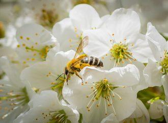 Comment polliniser un prunier ?