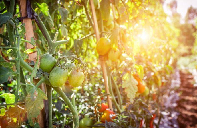 Comment réussir la culture des tomates au potager?
