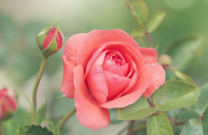 Quand planter votre rosier et obtenir de belles roses
