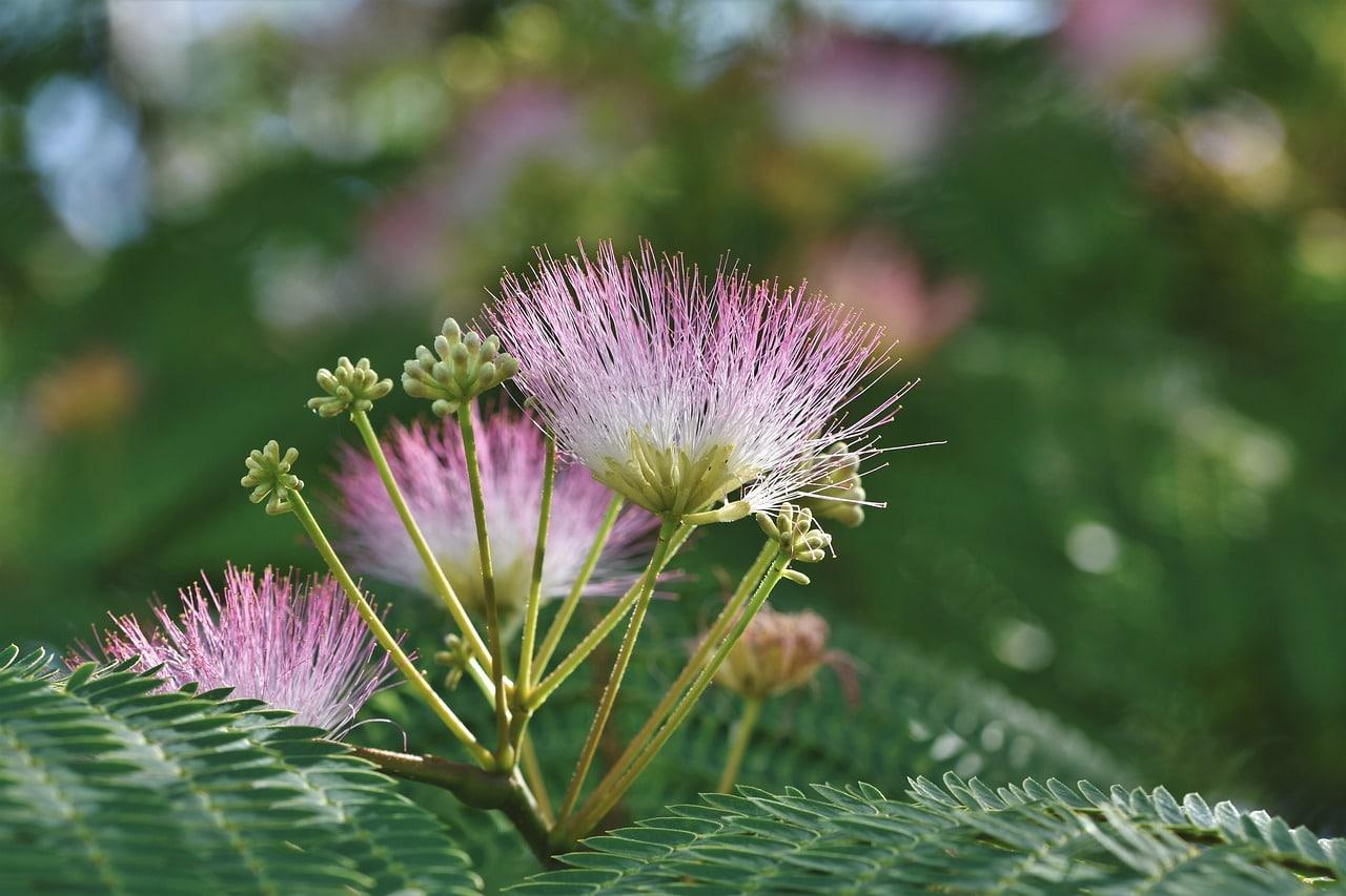 Comment planter un arbre à soie ou albizia ?
